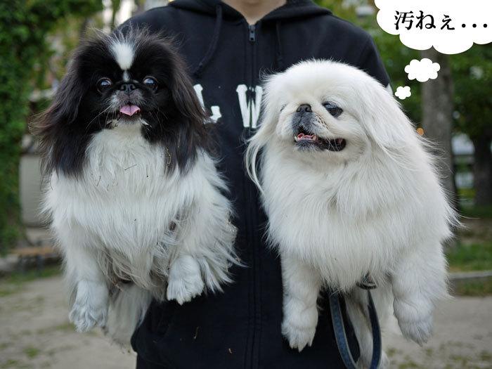 ペキニーズ Blog-白ペキニーズ シロ♂ & 白黒ペキニーズ クロ♀のフォトブログ-2013.6.18.シロクロ21