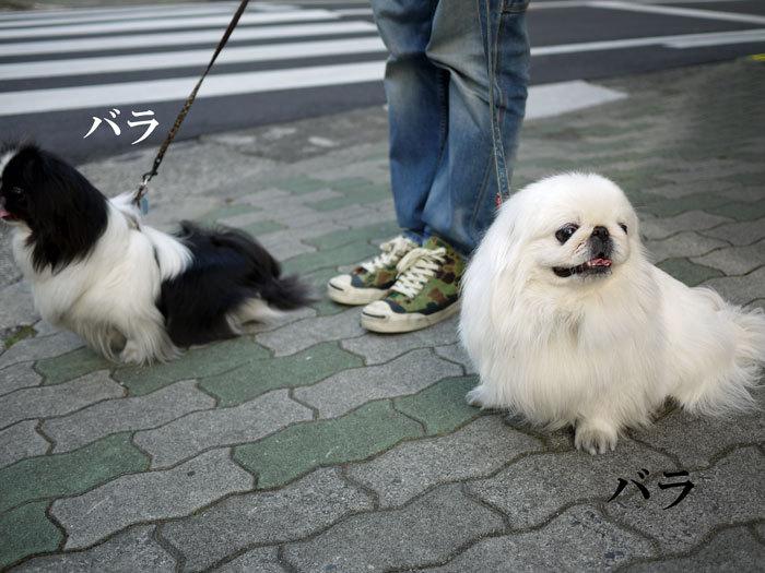 ペキニーズ Blog-白ペキニーズ シロ♂ & 白黒ペキニーズ クロ♀のフォトブログ-2013.6.18.シロクロ24