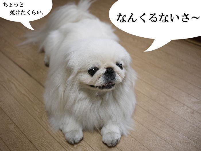 ペキニーズ Blog-白ペキニーズ シロ♂ & 白黒ペキニーズ クロ♀のフォトブログ-2013.7.2.OKINAWA14