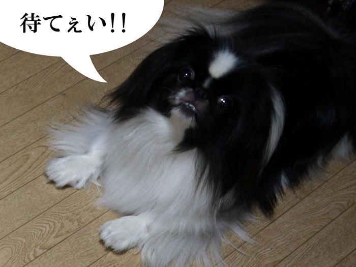 ペキニーズ Blog-白ペキニーズ シロ♂ & 白黒ペキニーズ クロ♀のフォトブログ-2013.7.4.シロクロ2