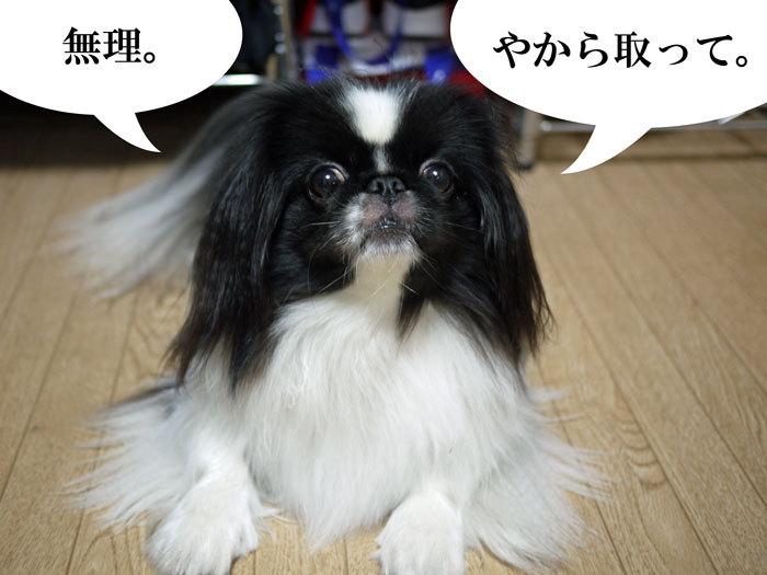 ペキニーズ Blog-白ペキニーズ シロ♂ & 白黒ペキニーズ クロ♀のフォトブログ-2013.7.4.シロクロ5