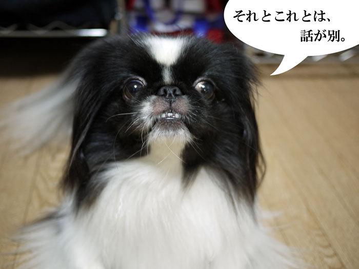 ペキニーズ Blog-白ペキニーズ シロ♂ & 白黒ペキニーズ クロ♀のフォトブログ-2013.7.4.シロクロ6
