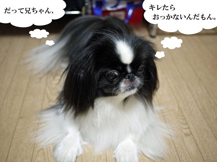 ペキニーズ Blog-白ペキニーズ シロ♂ & 白黒ペキニーズ クロ♀のフォトブログ-2013.7.4.シロクロ7