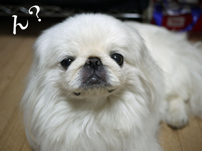 ペキニーズ Blog-白ペキニーズ シロ♂ & 白黒ペキニーズ クロ♀のフォトブログ-2013.7.4.シロクロ9