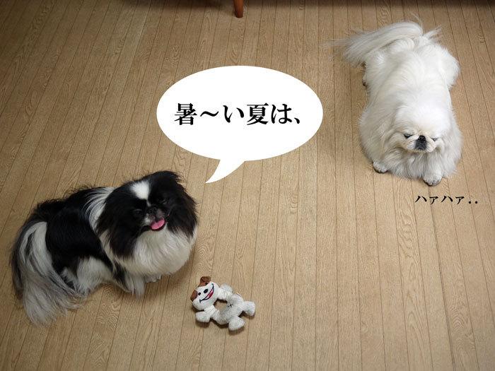 ペキニーズブログ-夏の過ごし方。 (1)