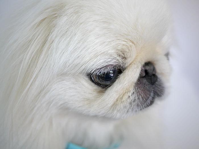 ペキニーズ Blog-白ペキニーズ シロ♂ & 白黒ペキニーズ クロ♀のフォトブログ-2013.7.18.シロ5