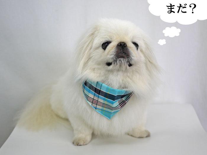 ペキニーズ Blog-白ペキニーズ シロ♂ & 白黒ペキニーズ クロ♀のフォトブログ-2013.7.18.シロ10