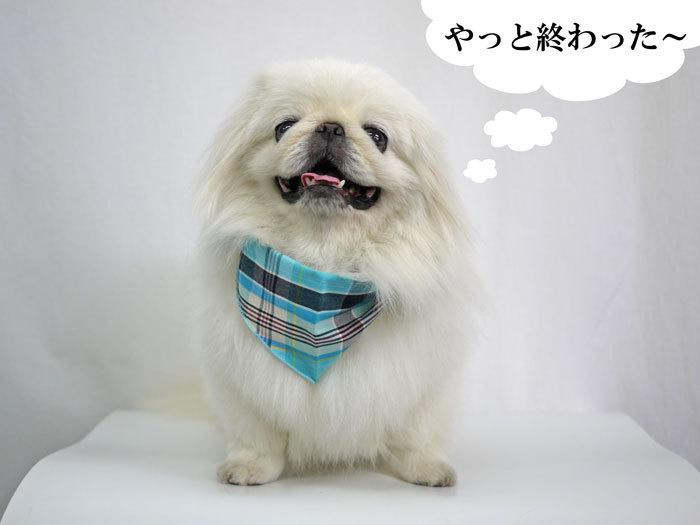 ペキニーズ Blog-白ペキニーズ シロ♂ & 白黒ペキニーズ クロ♀のフォトブログ-2013.7.18.シロ17