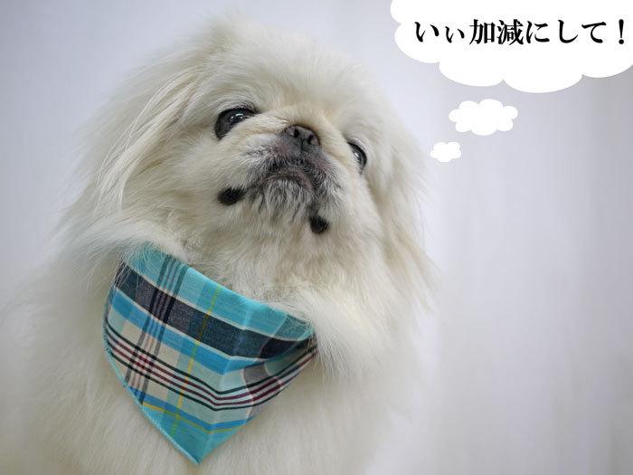 ペキニーズ Blog-白ペキニーズ シロ♂ & 白黒ペキニーズ クロ♀のフォトブログ-2013.7.18.シロ18