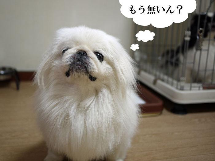 ペキニーズ Blog-白ペキニーズ シロ♂ & 白黒ペキニーズ クロ♀のフォトブログ-2013.8.24.シロ16