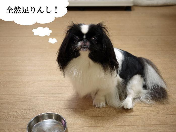 ペキニーズ Blog-白ペキニーズ シロ♂ & 白黒ペキニーズ クロ♀のフォトブログ-2013.8.24.シロ17