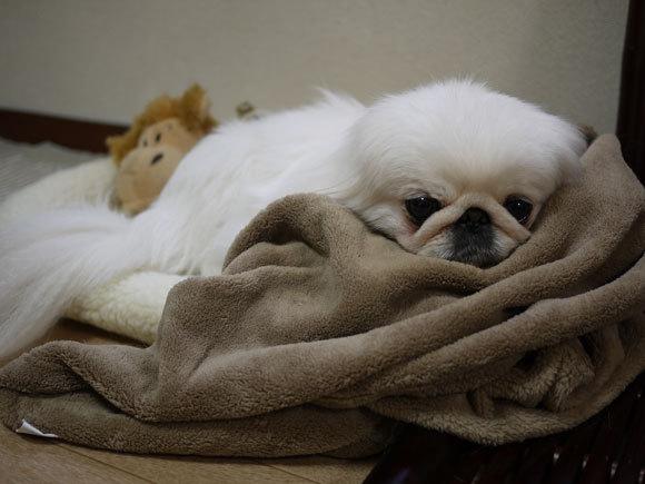 ペキニーズ Blog-白ペキニーズ シロ君のフォトブログ-プレゼント