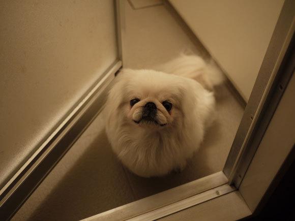 ペキニーズ Blog-白ペキニーズ シロ君のフォトブログ-お風呂場から迫る恐怖の手?いや足か?