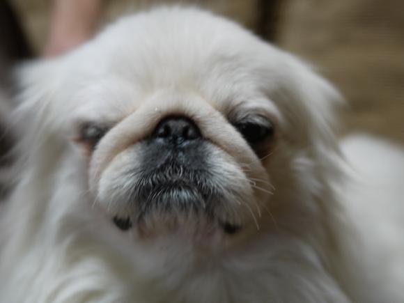 ペキニーズ Blog-白ペキニーズ シロ君のフォトブログ-ブラッシング♪ブラッシング♪