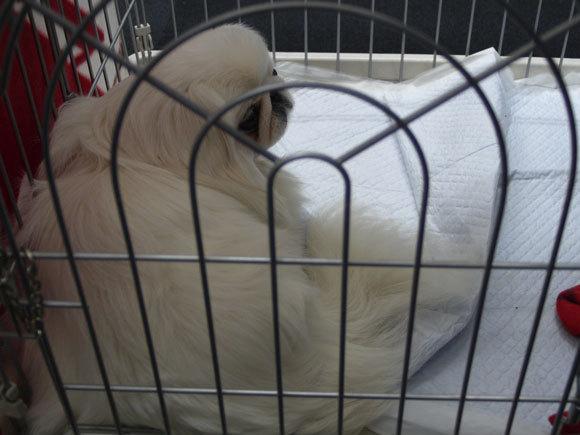 ペキニーズ Blog-白ペキニーズ シロ君のフォトブログ-ゲージの中でふて寝中。