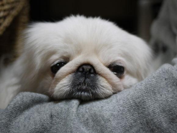 ペキニーズ Blog-白ペキニーズ シロ君のフォトブログ-シロの得意技は、アゴのせです。