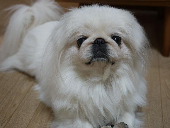 ペキニーズ Blog-白ペキニーズ シロ君のフォトブログ-静電気?シロ君!胸毛が逆さ向いてますけど。
