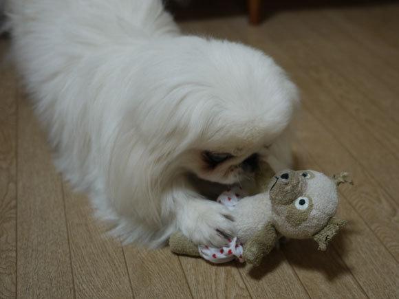 ペキニーズ Blog-白ペキニーズ シロ君のフォトブログ-シ、シロ君。。手の位置がwww