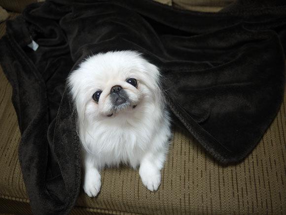 ペキニーズ Blog-白ペキニーズ シロ君のフォトブログ-シロ君は寝正月でした。