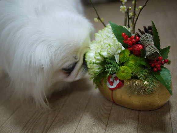 ペキニーズ Blog-白ペキニーズ シロ君のフォトブログ-久しぶりの更新になりました!