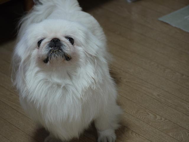 ペキニーズ Blog-白ペキニーズ シロ君のフォトブログ-ご飯タイム♪