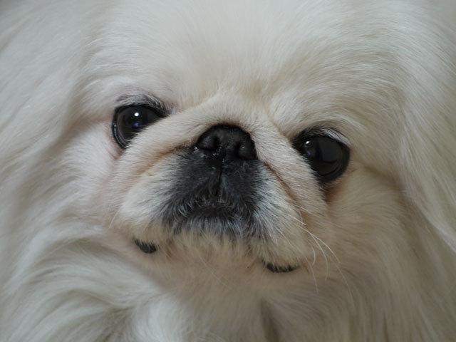 ペキニーズ Blog-白ペキニーズ シロ君のフォトブログ-ベロだしシロ君
