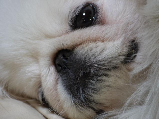 ペキニーズ Blog-白ペキニーズ シロ君のフォトブログ-ね〜むれ〜♪ね〜むれ〜♪
