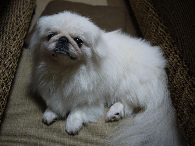 ペキニーズ Blog-白ペキニーズ シロ君のフォトブログ-最近のお気に入りはソファーとテーブルの間。(邪魔)
