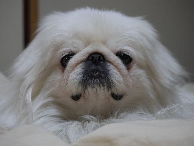 ペキニーズ Blog-白ペキニーズ シロ君のフォトブログ-1日の大半を寝て過ごす。。