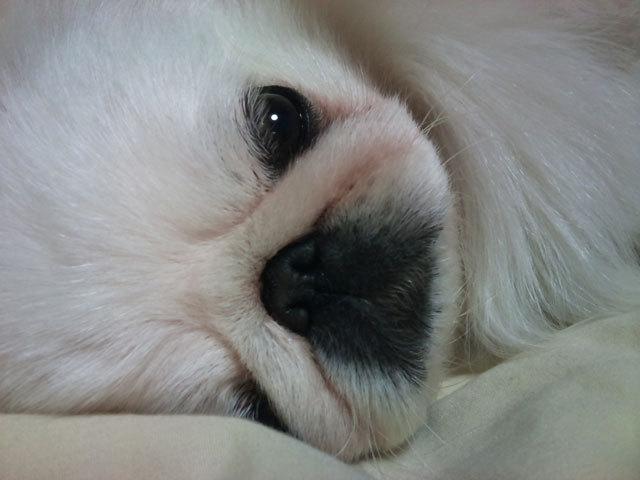 ペキニーズ Blog-白ペキニーズ シロ君のフォトブログ-冬は毎日添い寝が必要なペキニーズです。