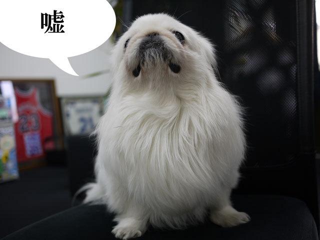 $ペキニーズ Blog-白ペキニーズ シロ君のフォトブログ-2011.4.1.