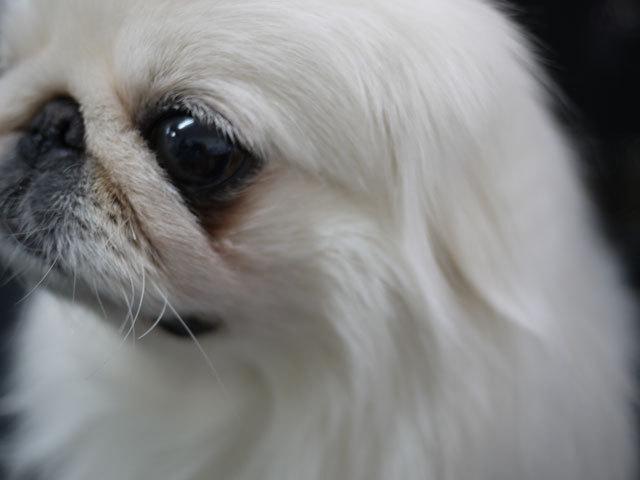 ペキニーズ Blog-白ペキニーズ シロ君のフォトブログ-2011.4.2.左