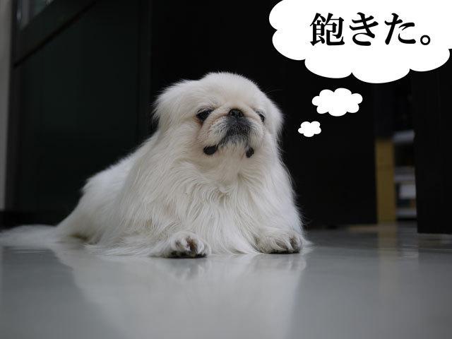 $ペキニーズ Blog-白ペキニーズ シロ君のフォトブログ-2011.4.2.右