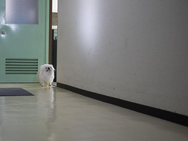 ペキニーズ Blog-白ペキニーズ シロ君のフォトブログ-2011.4.4.