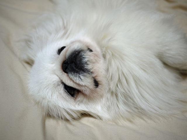 ペキニーズ Blog-白ペキニーズ シロ君のフォトブログ-2011.4.6.シロの日
