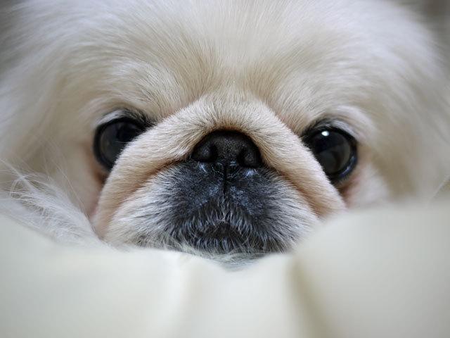 ペキニーズ Blog-白ペキニーズ シロ君のフォトブログ-2011.4.5.After