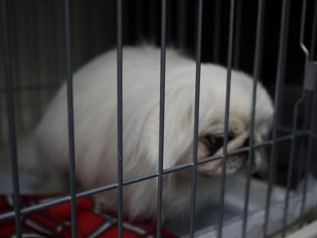 ペキニーズ Blog-白ペキニーズ シロ君のフォトブログ-2011.4.7.囚シロ