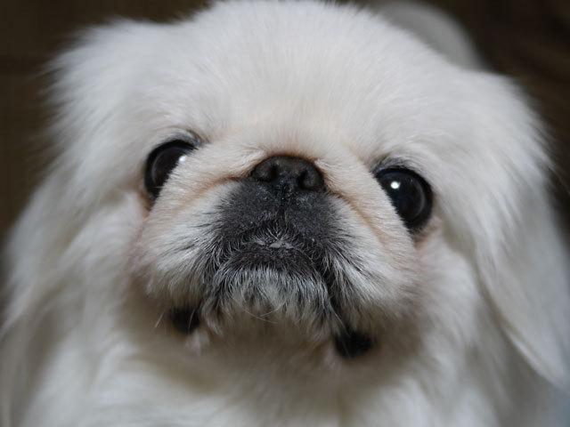 ペキニーズ Blog-白ペキニーズ シロ君のフォトブログ-2011.4.9.シロ議員