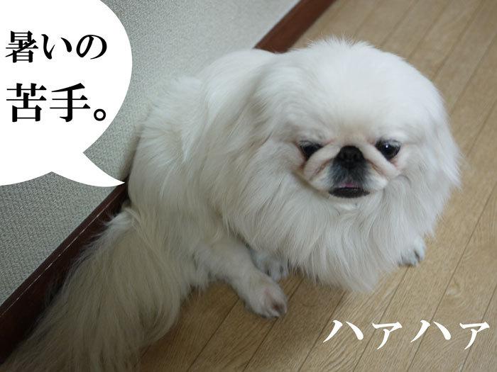 $ペキニーズ Blog-白ペキニーズ シロのフォトブログ-2011.4.30.シロニモマケズ