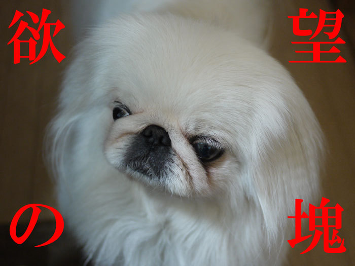 ペキニーズ Blog-白ペキニーズ シロのフォトブログ-2011.4.30.シロニモマケズ