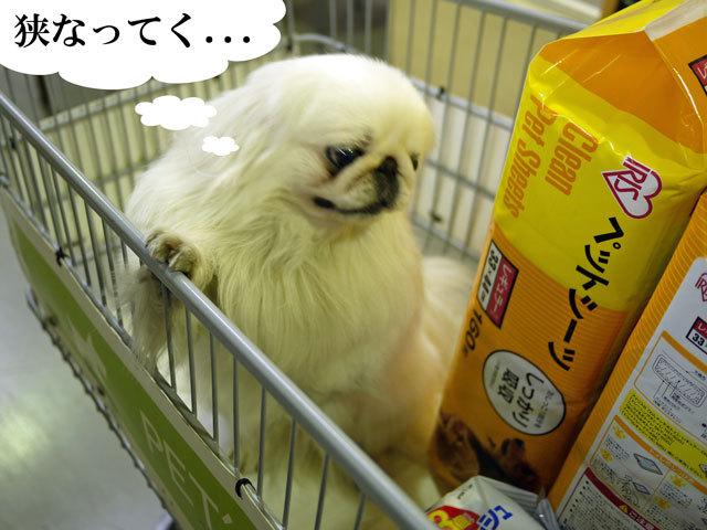 ペキニーズ Blog-白ペキニーズ シロ君のフォトブログ-2011.4.11.シロHOME'S