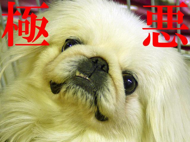 $ペキニーズ Blog-白ペキニーズ シロ君のフォトブログ-2011.4.11.シロHOME'S