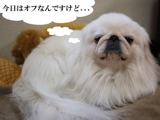 ペキニーズ Blog-白ペキニーズ シロ君のフォトブログ-2011.4.10.シロOFF