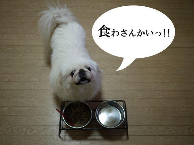 ペキニーズ Blog-白ペキニーズ シロ君のフォトブログ-2011.4.12.シロごはん