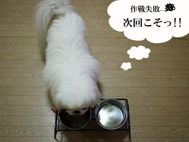 $ペキニーズ Blog-白ペキニーズ シロ君のフォトブログ-2011.4.12.シロごはん
