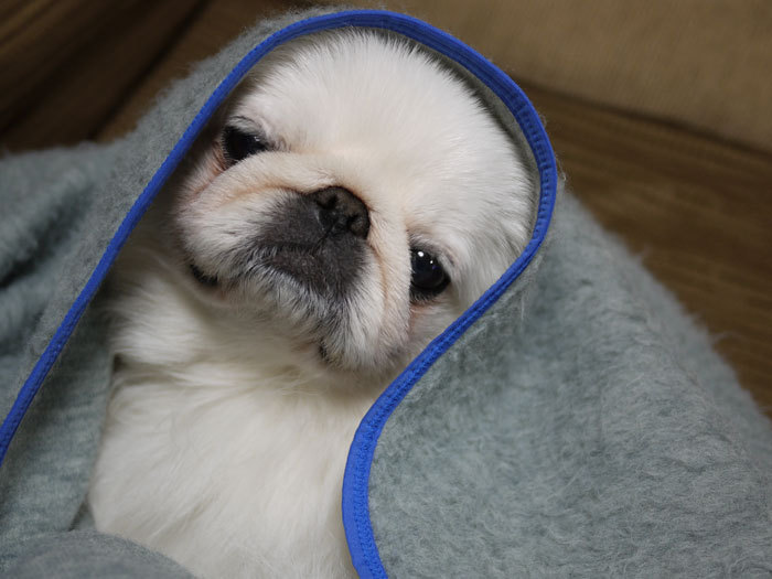 ペキニーズ Blog-白ペキニーズ シロ君のフォトブログ-2011.4.13.シロUP