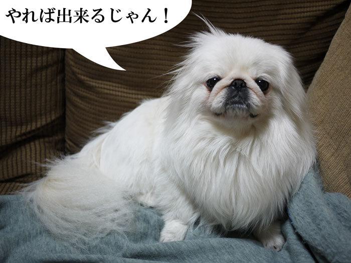 $ペキニーズ Blog-白ペキニーズ シロ君のフォトブログ-2011.4.13.シロUP