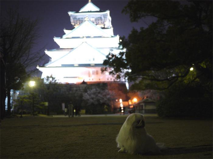 ペキニーズ Blog-白ペキニーズ シロ君のフォトブログ-2011.4.14.シロ&城