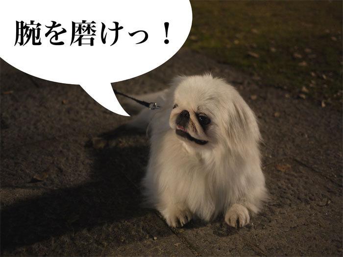 $ペキニーズ Blog-白ペキニーズ シロ君のフォトブログ-2011.4.13.シロ&城