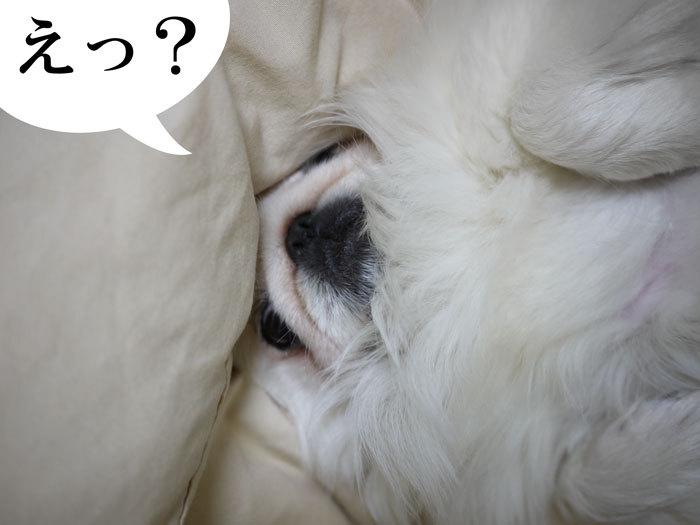 ペキニーズ Blog-白ペキニーズ シロ君のフォトブログ-2011.4.16.シロお見送り
